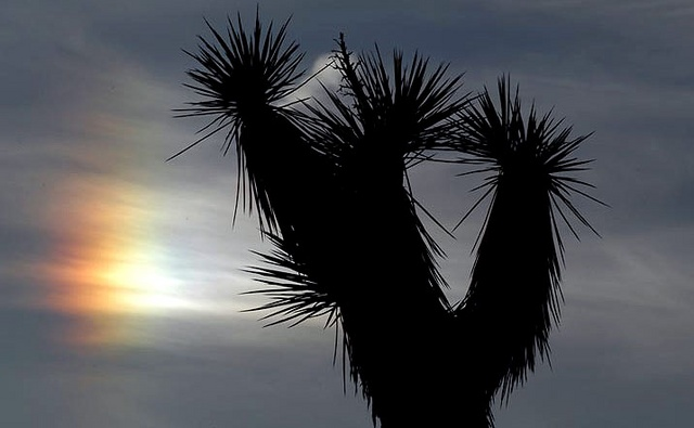 Joshua tree and sundog