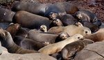 Sea lions - group nap