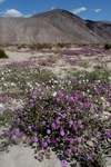 sand verbane and primrose - Anza-Borrego desert