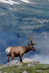 Elk in mountains