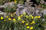 White tailed ptarmigan 1