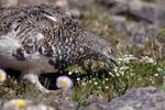White tailed ptarmigan eating flowers