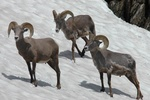 big horn rams in snow