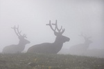 elk in cloud 1