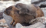 yellow bellied marmot with baby