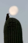 Gila woodpecker and moon