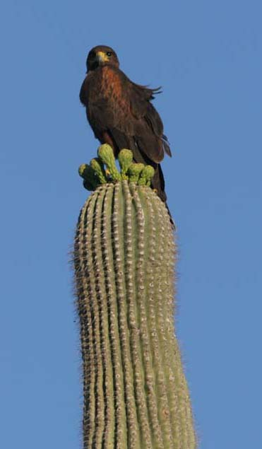 Harris hawk on saguaro