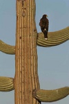 Harris hawk on saguaro 3