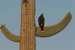Harris hawk on saguaro 4