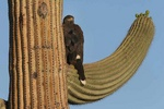 Harris hawk on saguaro arm