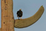 Harris hawk on saguaro arm 2