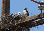 Red tailed hawk nest on pole