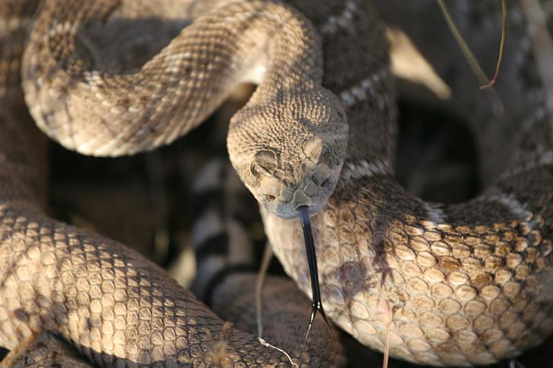 Western diamondback rattlesnake