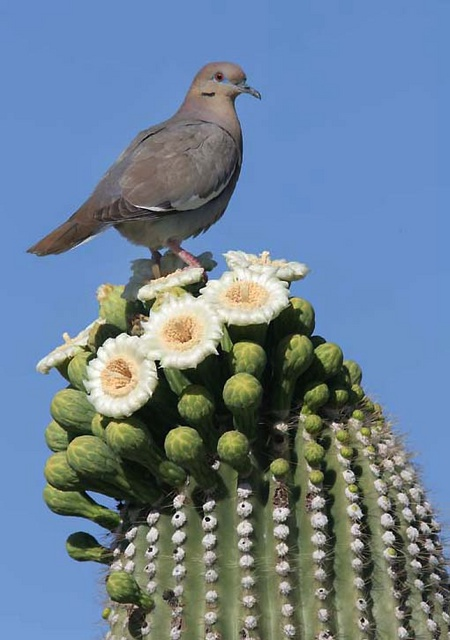 White winged dove on flowering saguaro
