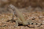 Zebratail lizard