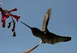 broad billed hummingbird 2