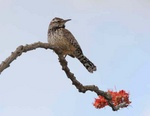 cactus wren on ocotillo