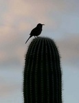 curved billed trasher at sunrise