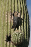 gila woodpecker at nesthole