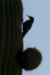 gila woodpecker at sagauro nest