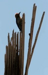 gila woodpecker on dead saguaro