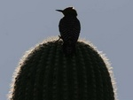 gila woodpecker on sagauro