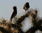 house finch courtship on chola