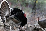 turkey courtship