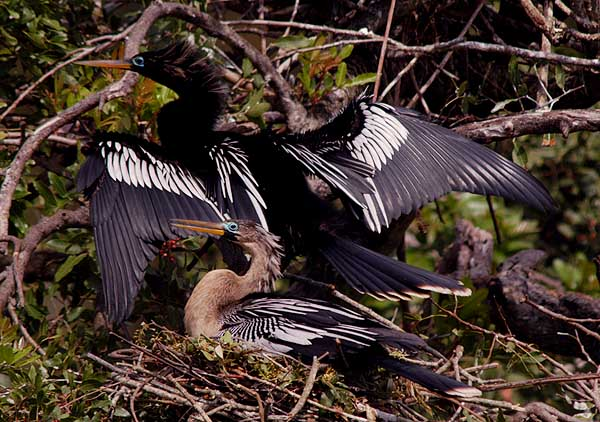 anhingas on nest