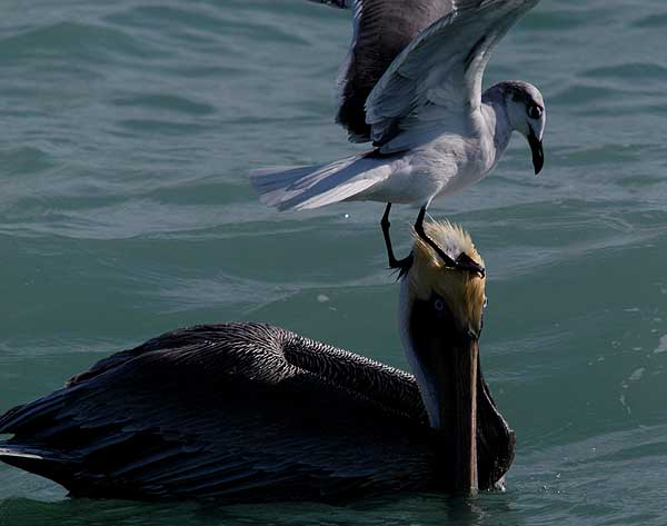 brown pelican laughing gull