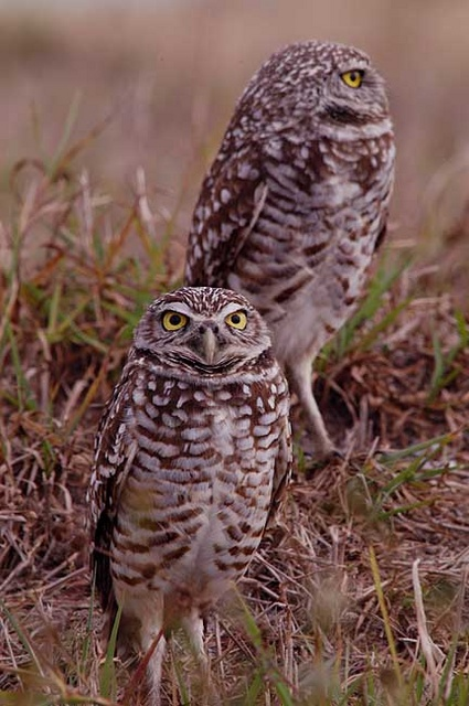 burrowing owl 3