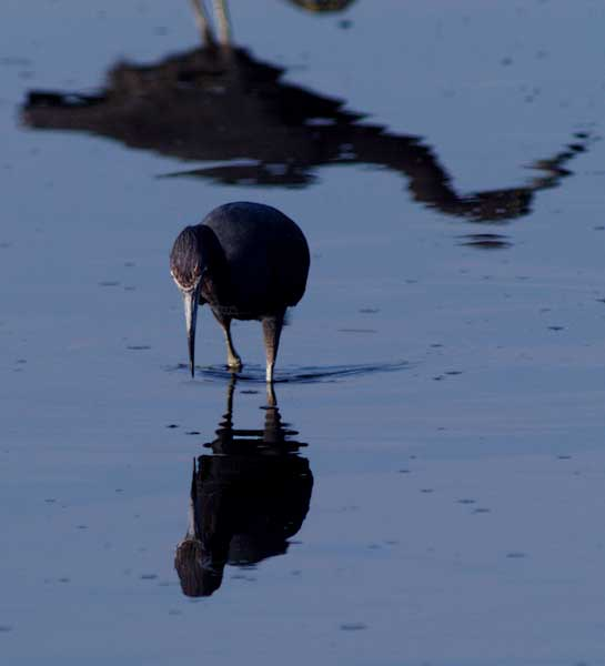 little blue heron 1