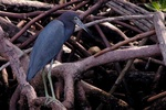 little blue in mangroves