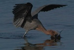 reddish egret 1