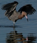 reddish egret 2