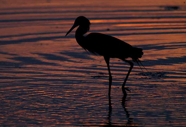 reddish egret at sunset