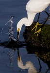 snowy egret 2