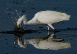 snowy egret 3