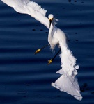 snowy egret 4