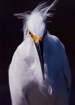 snowy egret 5