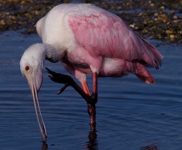 spoonbill 1