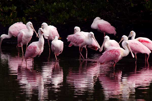 spoonbills 2