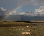 Lions sleeping under rainbow at Ngorongoro Crater, Tanzania