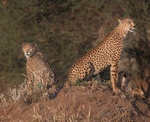 Mother and young cheetah in Tarangire National Park, Tanzania