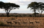 cheetahs on plains in Tarangire National Park