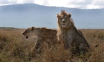 lion couple at Ngorongoro Crater