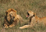 lion courtship Serengeti National Park, Tanzania