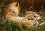 lion family at Masai Mara, Kenya
