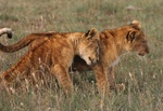 lion cubs at Masai Mara, Kenya