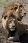 lion males at Ngorongoro Crater